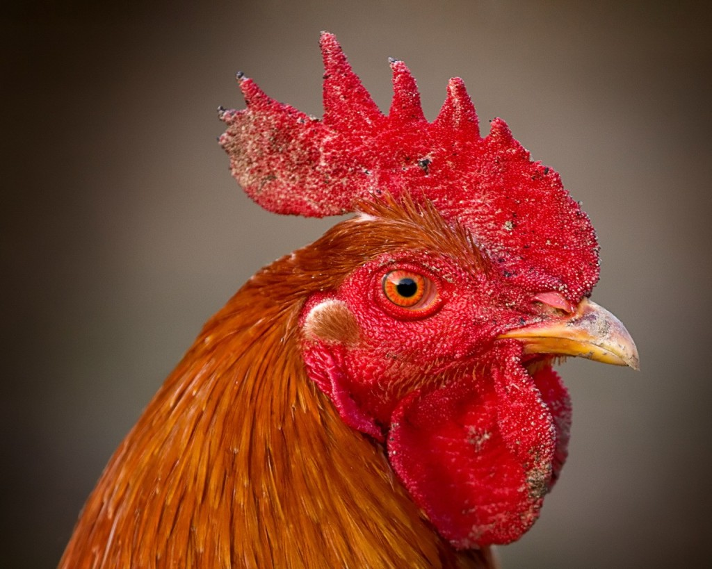 rooster_comb