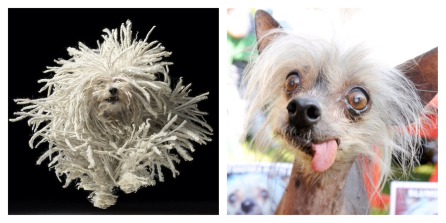 Puli Photo: Tim Flach; Chinese Crested Photo: Matt Toka