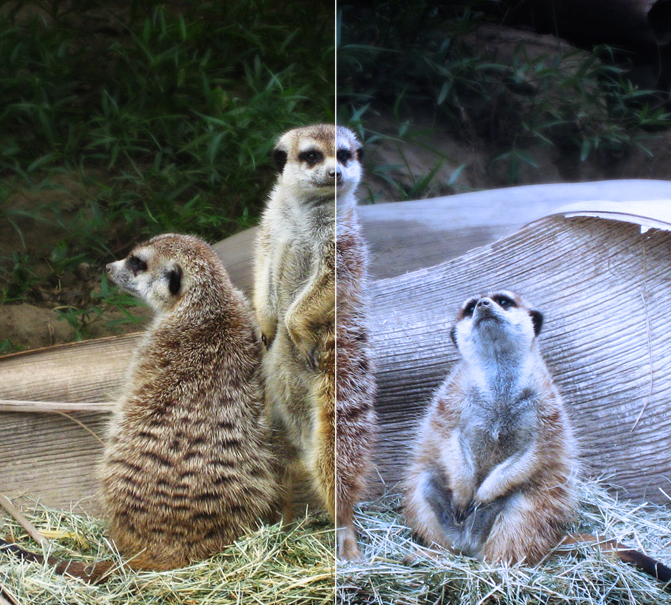 Heather says: Meerkats need good lighting, too.